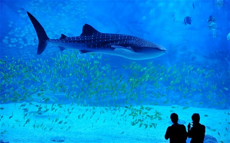 China crams five whale sharks into relatively small Small sharks for fish tanks