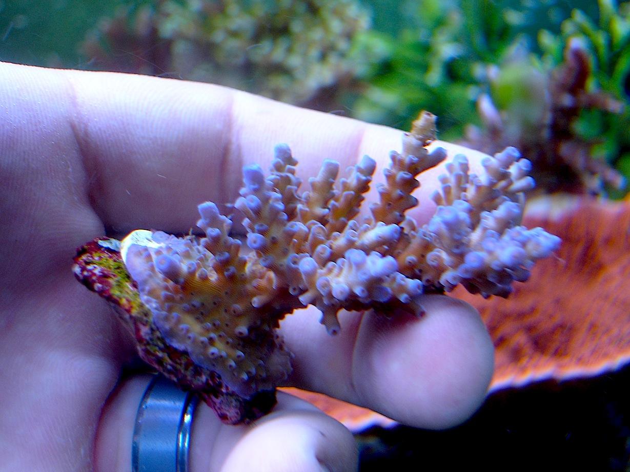 Acropora Coral Frag
