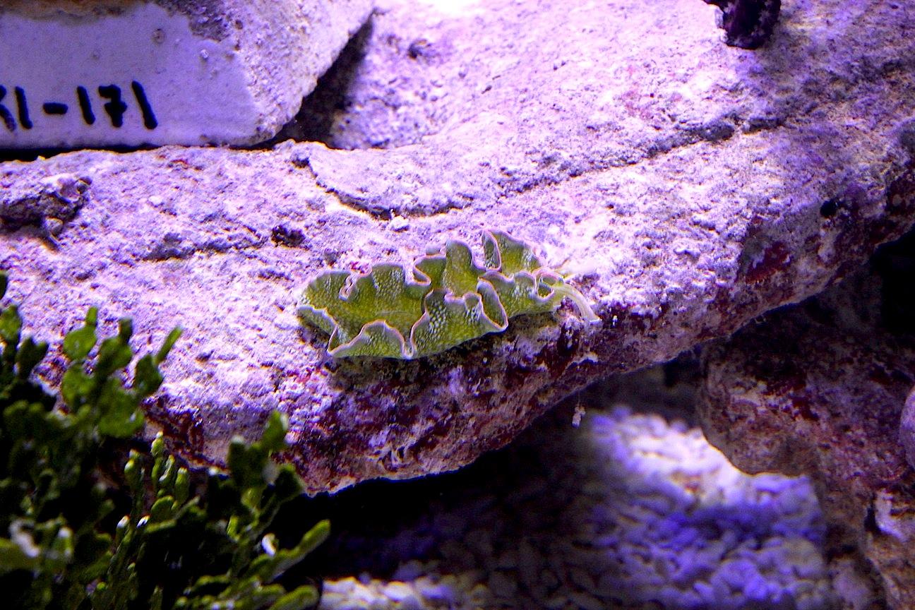 Lettuce Nudibranch (Elysia crispata)
