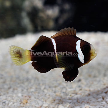 McCulloch's Clownfish on LiveAquaria