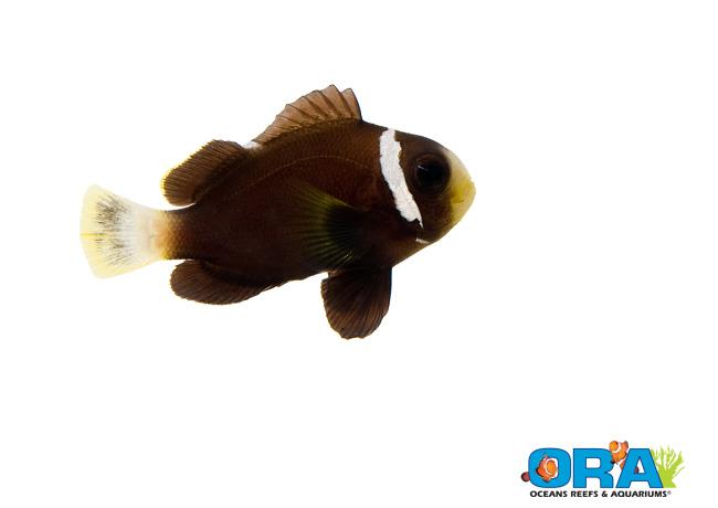 ORA McCulloch's Clownfish (Amphiprion mccullochi )