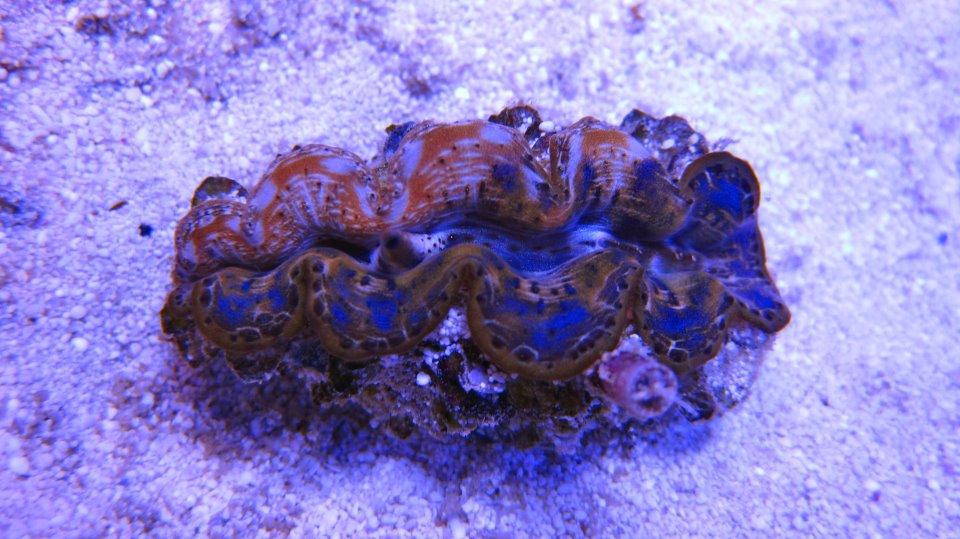 ReefKoi Two Face Maxima Clam
