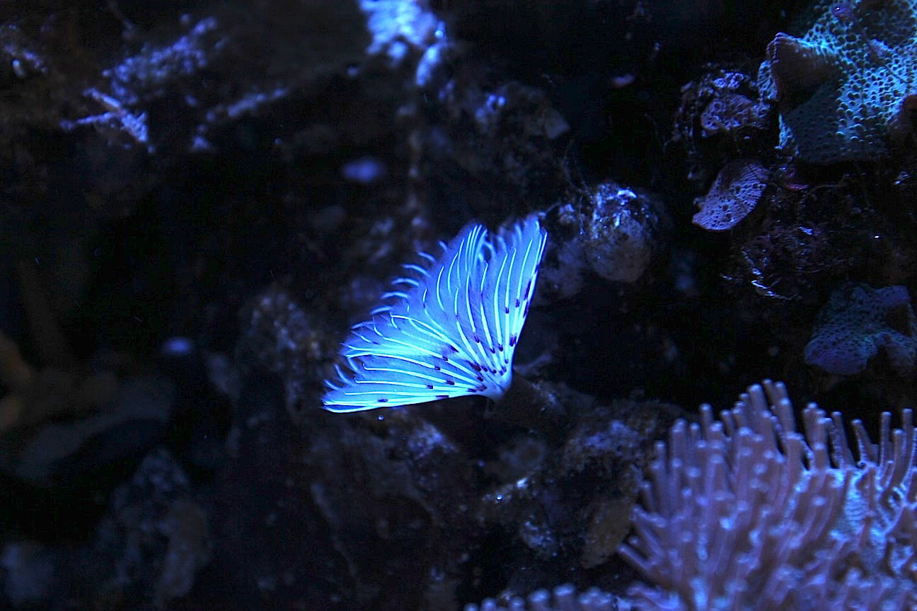 White Feather Duster Under Kessil A150W