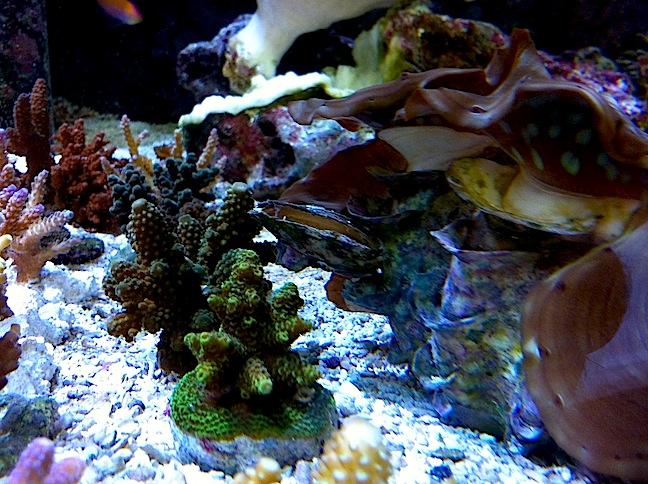 Clam on Tridacna squamosa