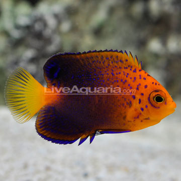 Interruptus Angelfish (Centropyge interrupta)