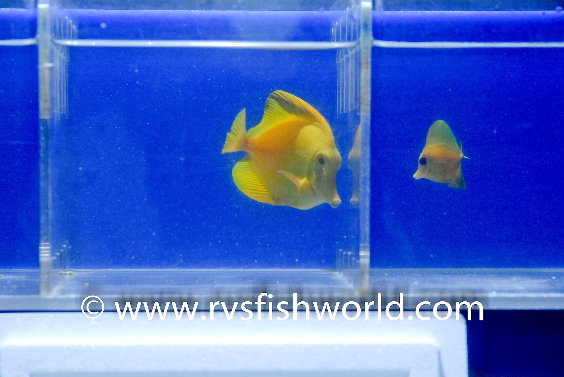 Adult and Juvenile Xanthic Scopas Tangs