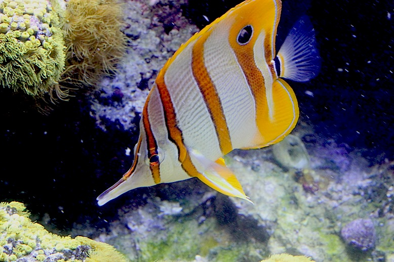 Copperband Butterflyfish at the Kemah Aquarium