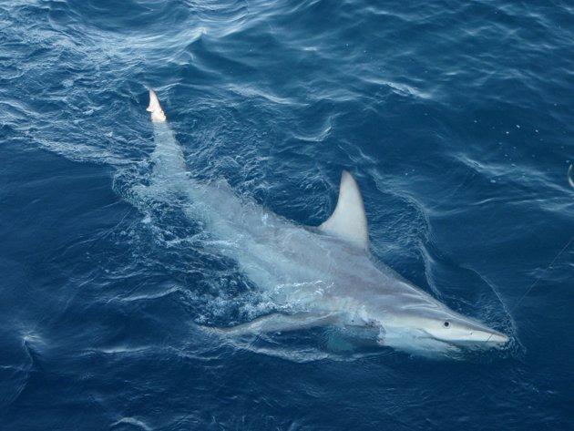 Hybrid Blacktip Shark