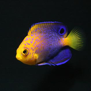 Juvenile Centropyge interrupta from B-Box Aquarium
