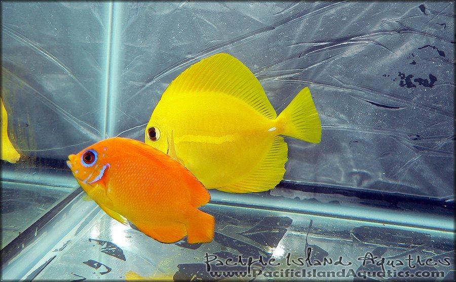Orange Peel Angelfish