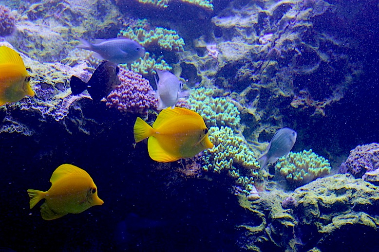 Trio of Yellow Tangs