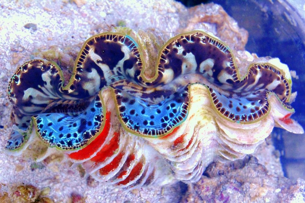 Two Faced Chimera Maxima Clam