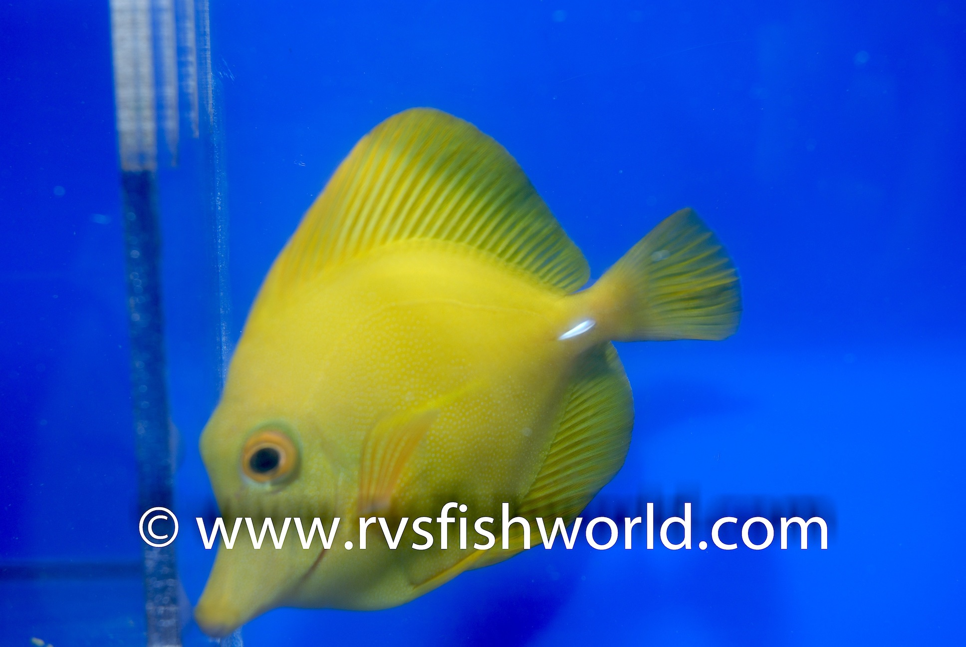 Yellow Zebrasoma scopas Tang