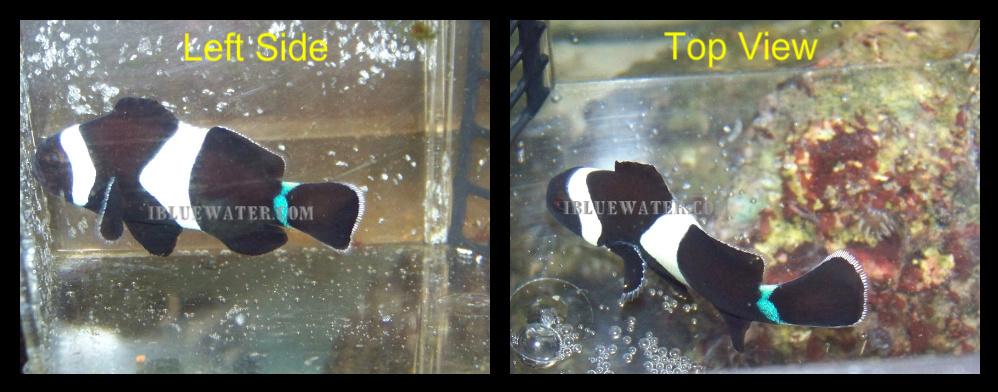 Blue Striped Ocellaris Clownfish