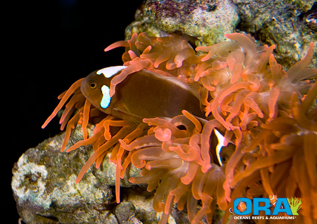 ORA Leucokranos Clownfish