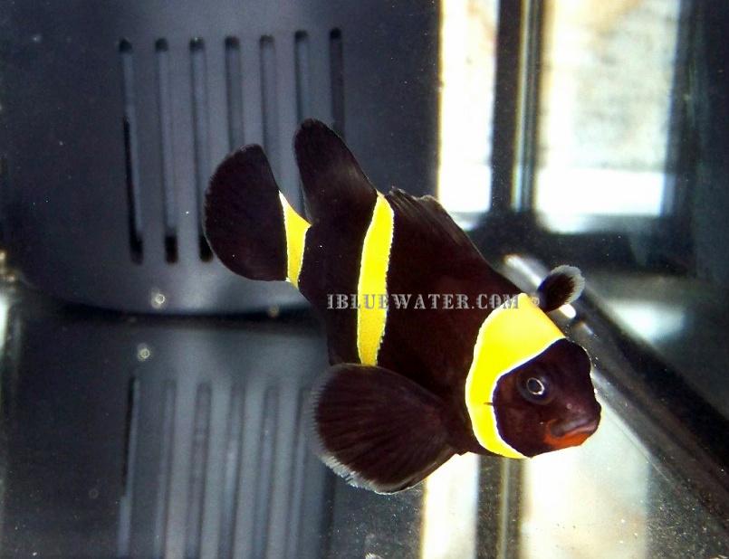 Purple Gold Stripe Maroon Clownfish