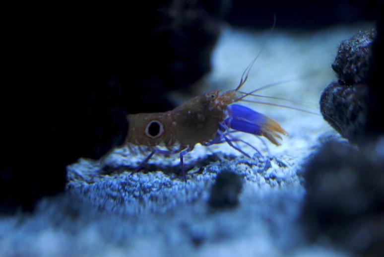 Bullseye Shrimp (Alpheus soror)