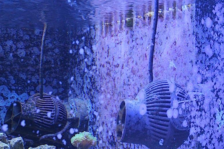 Coralline Algae on Aquarium