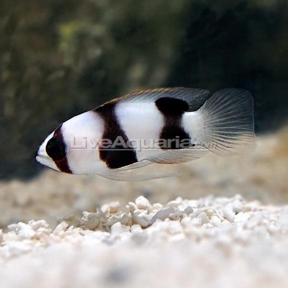 Curacao Deepwater Banded Basslet (Lipogramma evides)