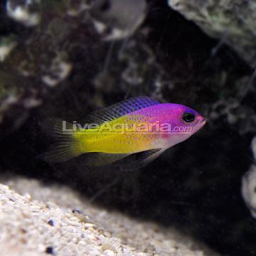Deepwater Bicolor Basslet (Lipogramma klayi)