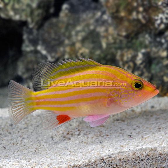 Deepwater Spanish Flag (Gonioplectrus hispanus)