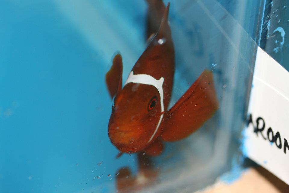 PNG Maroon Clownfish with Horns