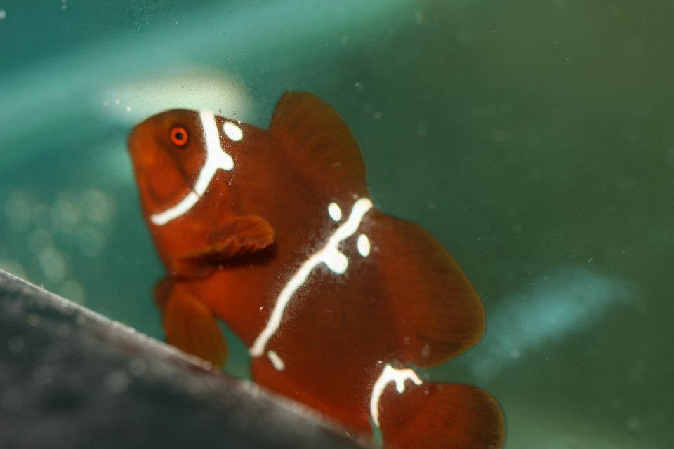 PNG Spotted Maroon Clownfish