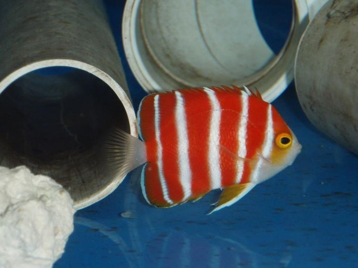 Peppermint Angelfish(Paracentropyge boylei)