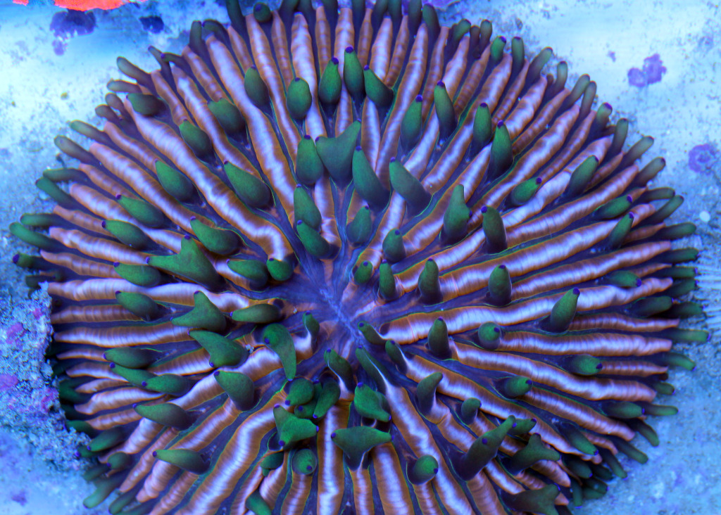 Rainbow Plate Coral