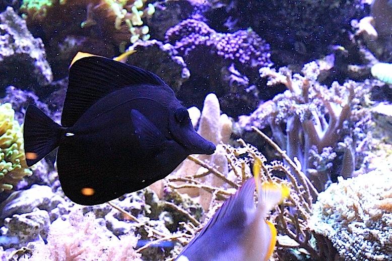 Black Tang (Zebrasoma rostratum)