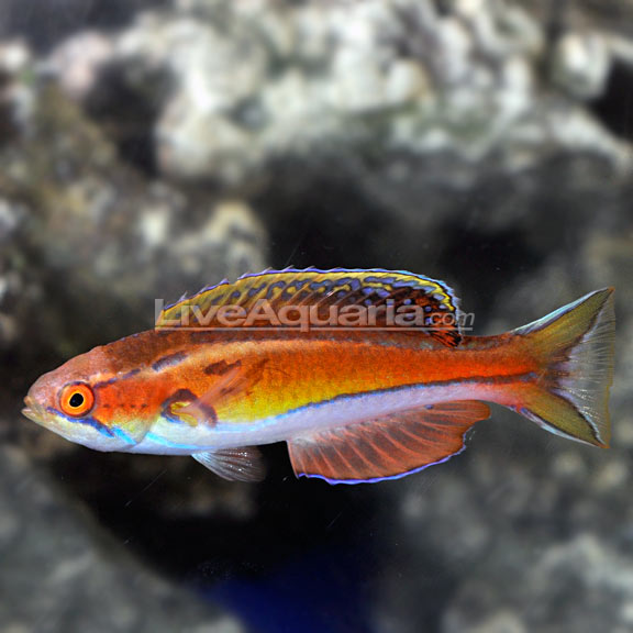Mauritius Flasher Wrasse (Paracheilinus piscilineatus)