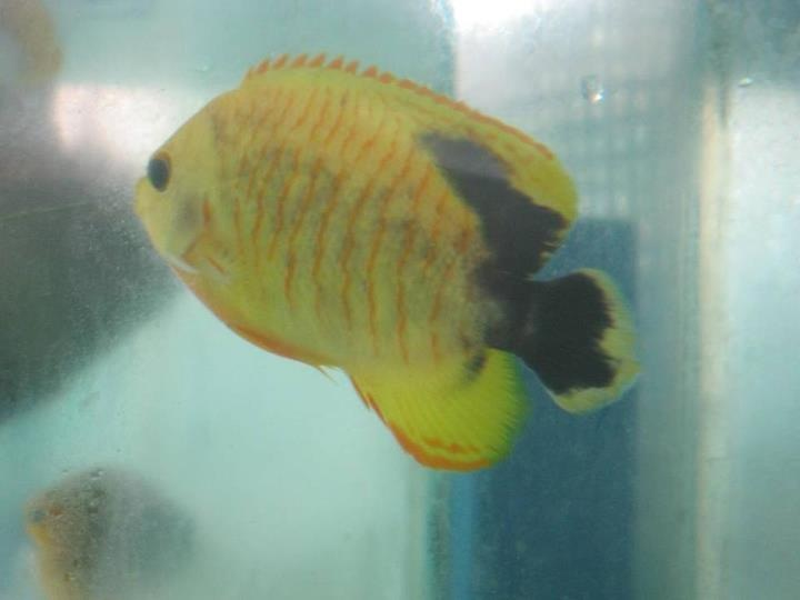 Aberrant Eibli Angelfish