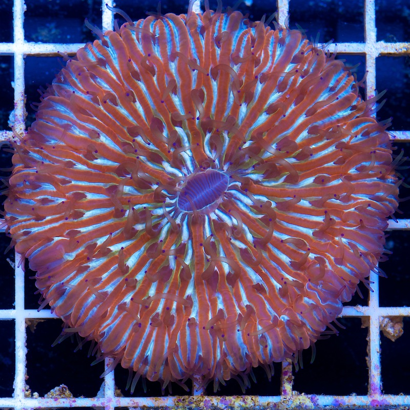 Cherry Corals Plate Coral