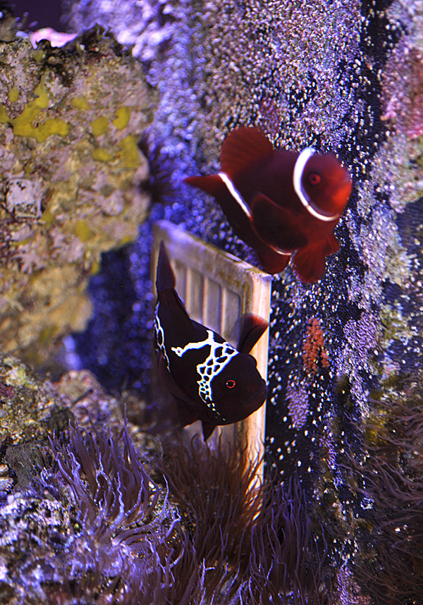 Lightning Maroon Clownfish with Eggs