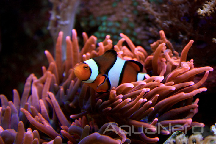 Ocellaris Clownfish with RBTA
