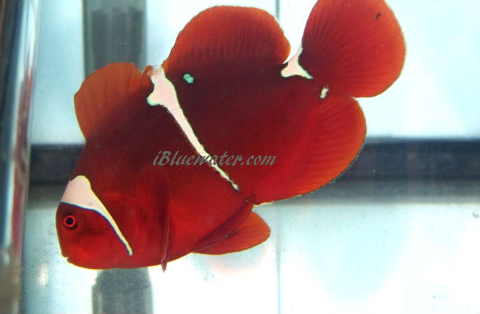 PNG Picasso Maroon Clownfish