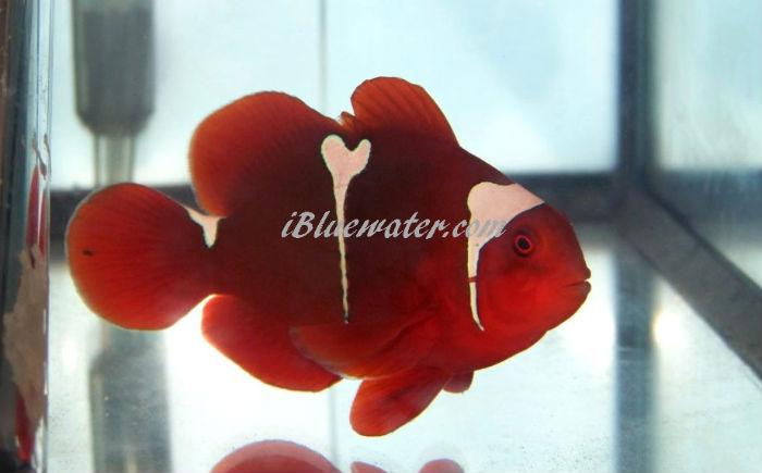 Picasso Maroon Clownfish