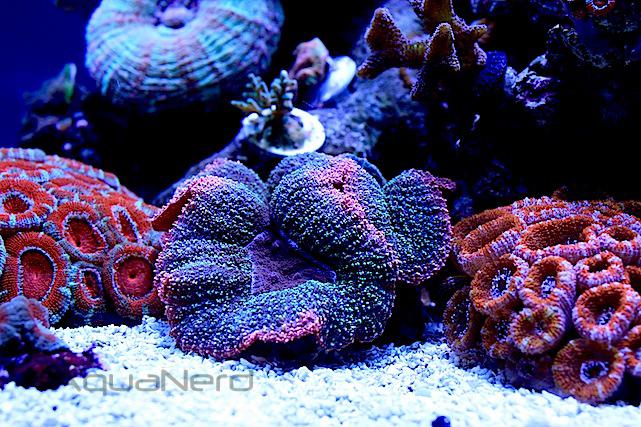 Rainbow Lobophyllia Brain Coral