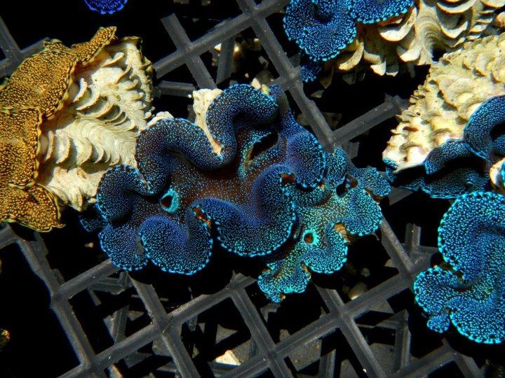 Blue Squammie Clams