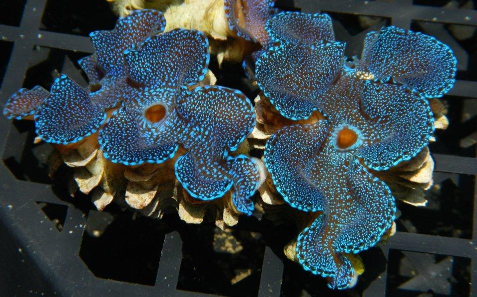 Blue Tridacna Squamosa