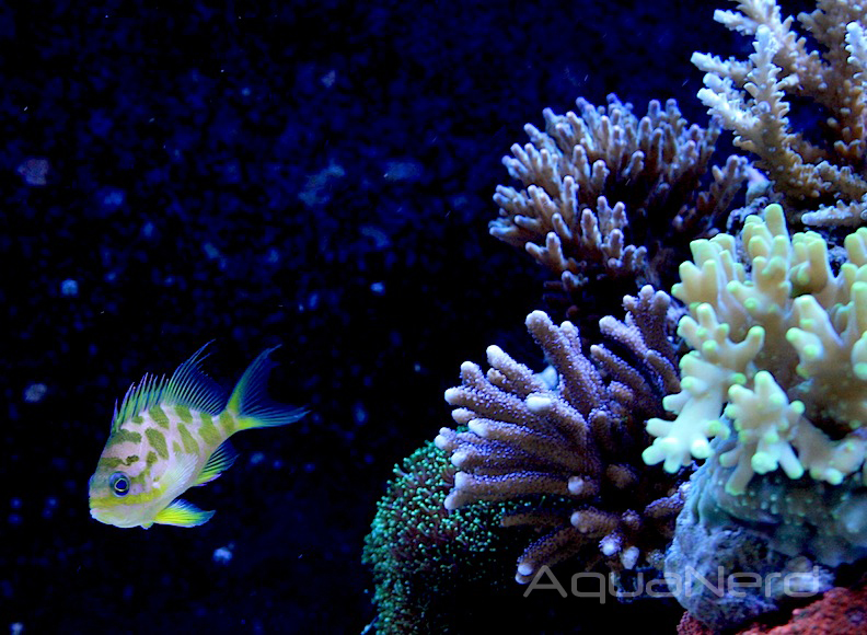 Borbonius Anthias in Reef