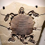 Fossil Soft Shell Turtle
