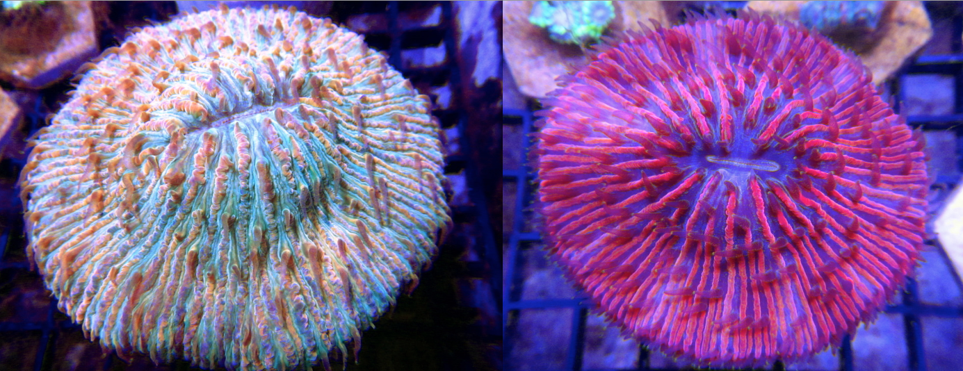 Rainbow and Red Plate Corals