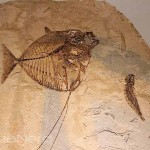 Two Unknown Fossilzed Fish