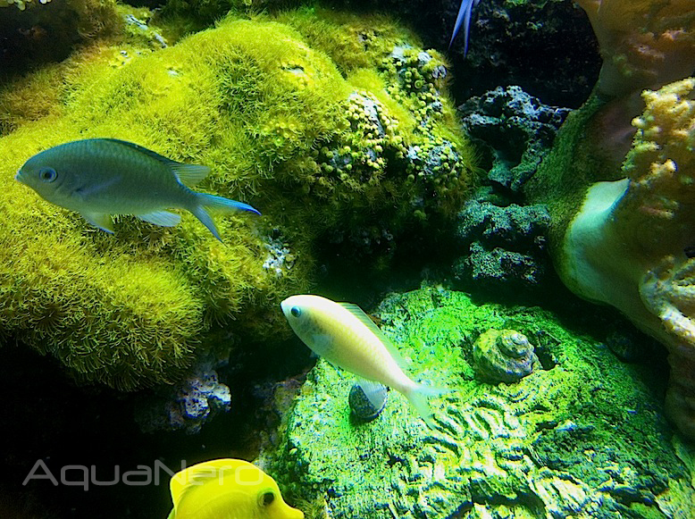 Xanthic Blue Green Reef Chromis