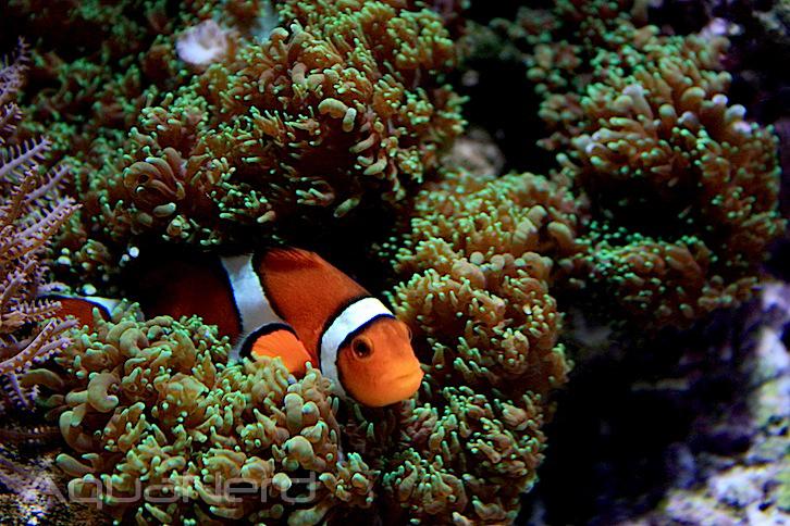Clownfish in Fuzzy Mushroom