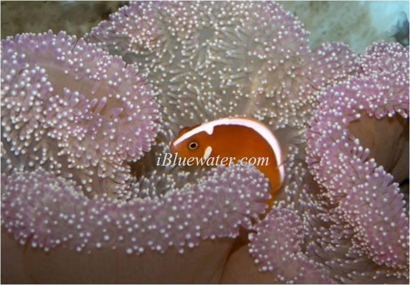 White Cap Orange Skunk Clownfish