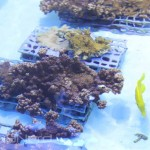 Coral Aquaculture Growout at Moody Gardens