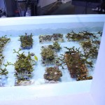 Coral Aquaculture at Moody Gardens