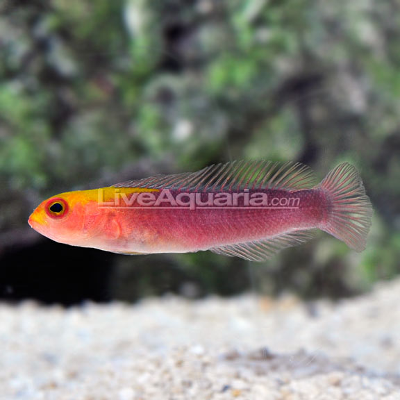 Rose Island Dottyback